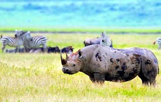 black rhino ngorongoro