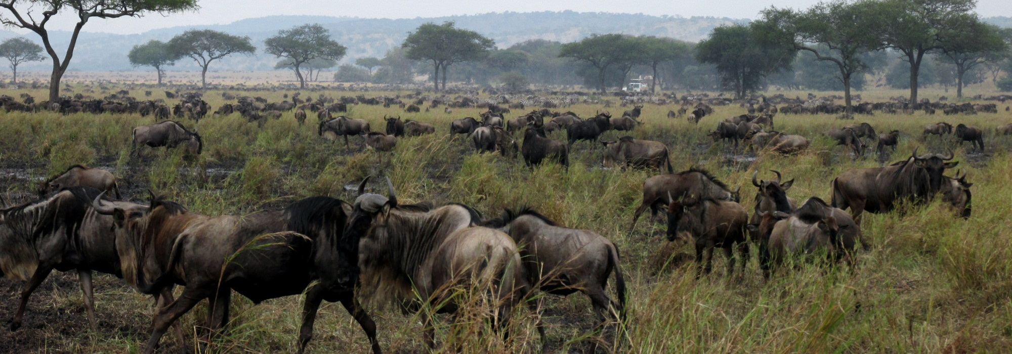 gnu migration serengeti